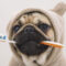 Come pulire i denti e prevenire il tartaro nel cane carlino