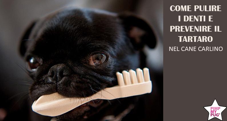 come pulire i denti del cane carlino