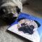 Un poema dedicato al cane carlino dal libro di Steve Jenkins