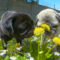 Il tarassaco nella ciotola dei nostri cani: molto più di una semplice erbaccia