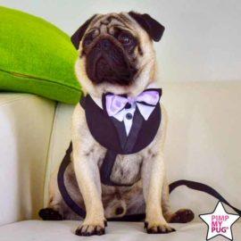 pettorina tuxedo giacca con papillon cane, bulldog, carlino, matrimonio