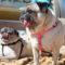 Colpo di calore: un'emergenza del cane carlino